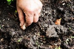 Women's hand sadi in soil-soil flower bulbs. Close-up, Concept o Stock Photography