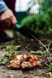 Women's hand sadi in soil-soil flower bulbs. Close-up, Concept o Stock Photos