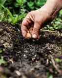 Women's hand sadi in soil-soil flower bulbs. Close-up, Concept o Royalty Free Stock Image