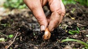 Women's hand sadi in soil-soil flower bulbs. Close-up, Concept o Stock Image
