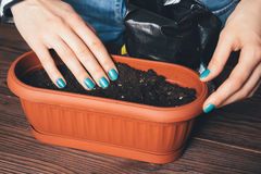 Women's hands with a bright manicure poured soil in the pot for Royalty Free Stock Photos