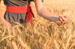 Women& x27;s hands collect spikes in the field. Many golden grains and spikes royalty free stock photography