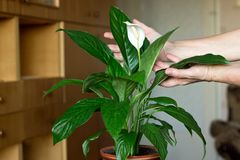Women`s hands gently touch the plant royalty free stock photo