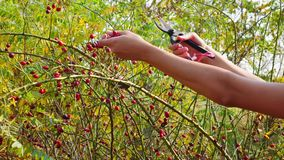Women`s hands harvesting  dog rose fruit with garden scissors in the sunny autumn. Red Rose Hip on bush in nature stock video