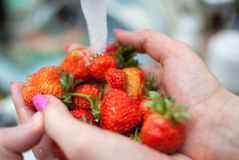 Free Women`s Hands Hold Fresh Ripe Strawberries Royalty Free Stock Photography - 139123367