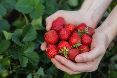 Women& x27;s hands hold a handful of fresh strawberries royalty free stock photo