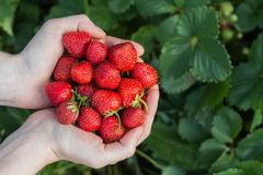 Women& x27;s hands hold a handful of fresh strawberries stock image