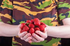 Women& x27;s hands hold a handful of strawberries stock photography