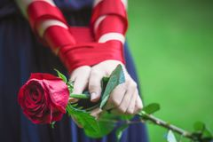 Women`s hands hold the rose stock photos