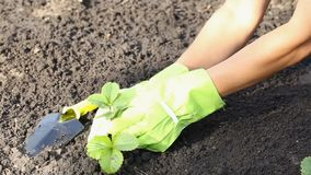 Women`s hands plant strawberry bush in garden stock footage