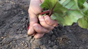 Women`s hands pull the beets out of ground stock video