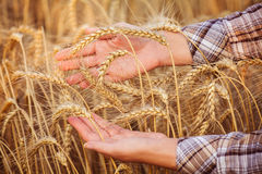 Women's hands in the ripe ears of wheat. Close-up. Horizomtal. Unrecognisable person Stock Photography