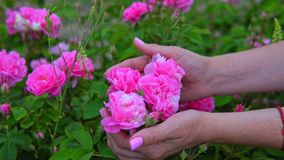Women`s hands touch pink rose flowers in the garden stock footage