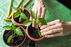 Women`s hands are transplanted the young plants in the spring. Stock Photos