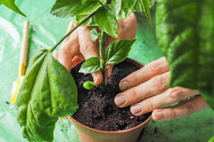 Women`s hands are transplanted the young plants in the spring. Royalty Free Stock Photography