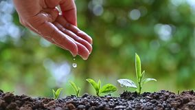 Women`s hands are watering the young plants, the concept of growth. Women`s hands are watering  the young plants, the concept of growth stock video footage