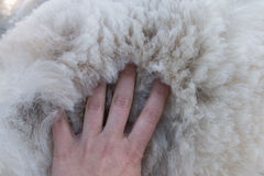 Women's palm on pile of white alpaca fleece Stock Photography