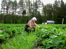 Women seasonal worker to pick strawberries Royalty Free Stock Photography