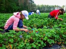 Women seasonal workers to pick strawberries Stock Photography