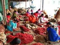 Women Sorting Dried Chillies. The female workers were busy sorting the dried chillies at the warehouse in Cochin, India royalty free stock photography