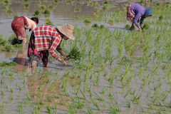 Women sowing in the rice fields Stock Photography