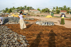 Women staple fish at the beach in Negombo Royalty Free Stock Photos