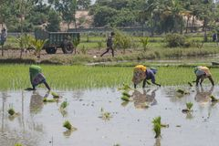 Women stooping to sow rice plants. Villuppuram, India - March 18, 2018: Women workers undertaking the backbreaking task of sowing young rice plants in a paddy Stock Images