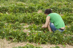 Women in a strawberrie field Royalty Free Stock Photos