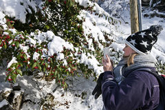 Women take picture of Cotoneaster with red berries in winter Royalty Free Stock Image