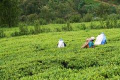 Women tea pickers on the field Royalty Free Stock Photos