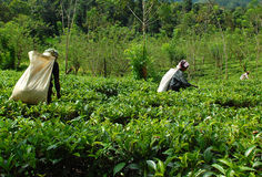 Women Tea Pickers At Work. At the tea plantation near the town of Kandy in Sri Lanka. Taken in December, 2008 Royalty Free Stock Photos