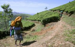 Women at tea plantation Stock Photography