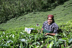 Women at tea plantation Royalty Free Stock Images