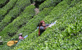 Women at tea plantation Stock Images
