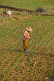 Women tend their crops. In irrigated paddies, Hsipaw, Myanmar (Burma stock image