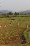 Women tend their crops. In irrigated paddies, Hsipaw, Myanmar (Burma royalty free stock image