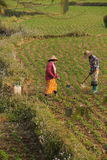 Women tend their crops. In irrigated paddies, Hsipaw, Myanmar (Burma royalty free stock photos