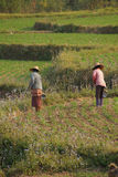 Women tend their crops. In irrigated paddies, Hsipaw, Myanmar (Burma royalty free stock photography