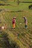 Women tend their crops. In irrigated paddies, Hsipaw, Myanmar (Burma stock photography