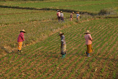 Women tend their crops. In irrigated paddies, Hsipaw, Myanmar (Burma royalty free stock images