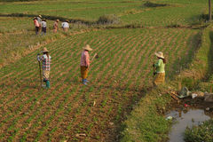 Women tend their crops. In irrigated paddies, Hsipaw, Myanmar (Burma stock images