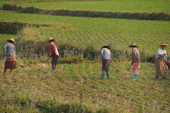 Women tend their crops. In irrigated paddies, Hsipaw, Myanmar (Burma stock photo