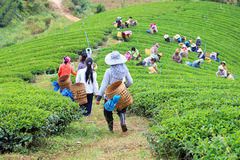 Women from Thailand breaks tea leaves Stock Photo