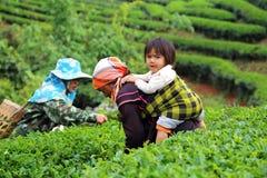 Women from Thailand breaks tea leaves Stock Photos