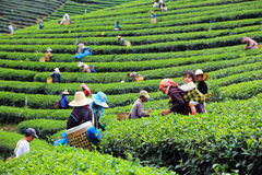 Women from Thailand breaks tea leaves Stock Image