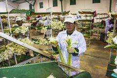 Women unidentified in an industrial plant, sorting calla lily fl Royalty Free Stock Photos