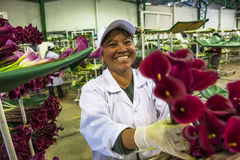 Women unidentified in an industrial plant, sorting calla lily fl Stock Photography