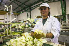 Women unidentified in an industrial plant, sorting calla lily fl Stock Photo