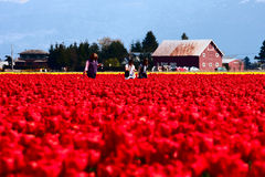 Women walking in field of red tulips. Three women walking in a field of red tulips during the Skagit Valley Tulip Festival royalty free stock photo