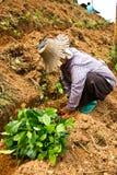 Women were planted tea Stock Image